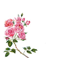 Branch of pink roses.Watercolor.
