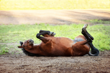 Happy bay horse lying in a field