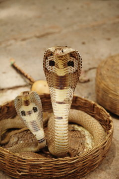Snake charmer India two cobras in basket showing markings