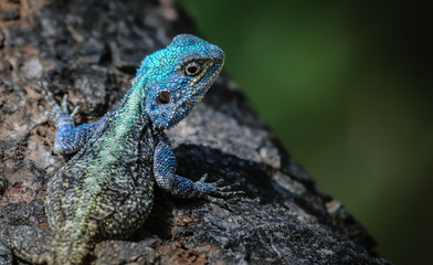 Close up of a colorful Tree agama, Kruger National Park, South Africa