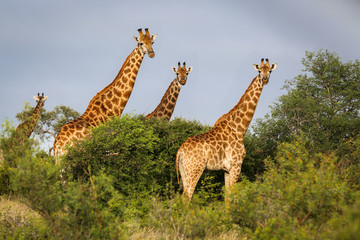 Group of giraffes facing in the bush, golden light, Kruger National Park, South Africa