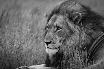 Portrait of impressive male Lion resting in the grass, Kruger National Park, South Africa
