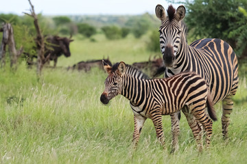 Zebra mother and baby in the grassland of Kruger National Park, South Africa