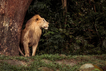 Lion looking to the side