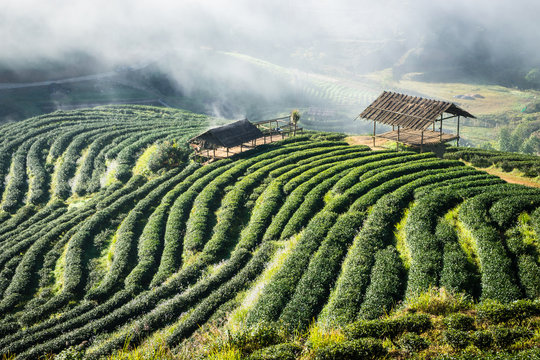 tea plantations in the northern Thailand