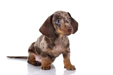 Little Dachshund puppy on a white background