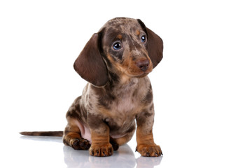 Little Dachshund puppy on a white background