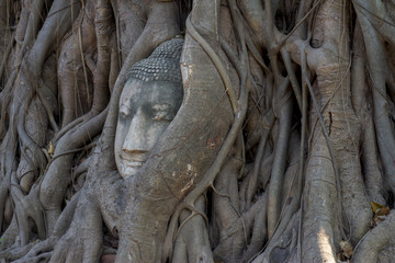The head of sandstone budha head lying beneath a tree at Ayudhay
