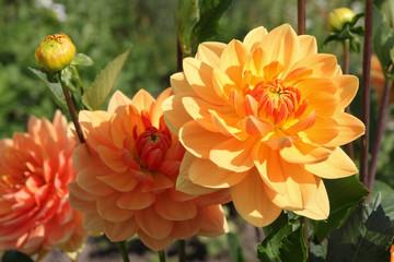 Dahlien, Lachsfarbend, Gelb, Orange