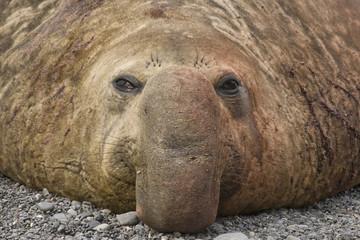 United Kingdom Territory, South Georgia Island. Close-up of bull elephant seal.