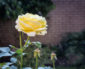 yellow rose growing in a garden in summer
