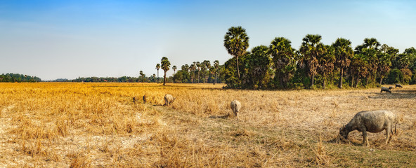 Cows eating dry grass at the field outside Siem Reap, Cambodia. Fototapete