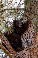 Black Bear in a tree, Missoula, Montana