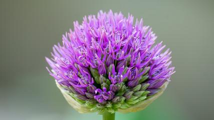 Zierlauch - Allium giganteum
