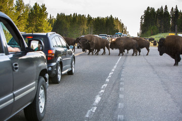 Traffic Jam by Bison on the road in Yellowstone National Park, W