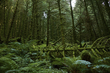 Moss covered forest with fallen trees and lots of ferns on forest floor