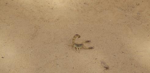 skorpion na piasku