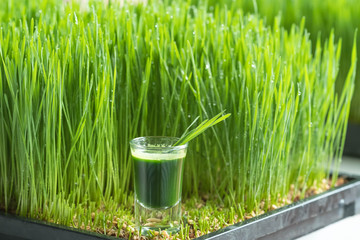 Wheatgrass juice with sprouted wheat