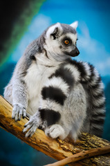 Lemur Looking in the Distance