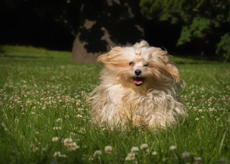 havanese dog on meadow