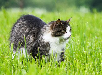 Fluffy cat on green grass background.