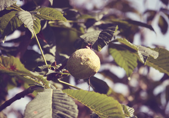 Horse chestnuts on a tree