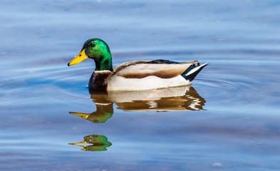 Male Mallard Duck (drake) swimming in Roosevelt lake in Arizona.