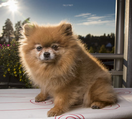 Pomeranian in the sun