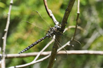 The dragonfly Aeshna subarctica sitting on a twig