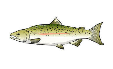 A hand drawn vector sketch illustration of a Salmon fish.