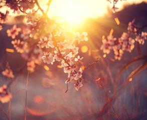 Wall Mural - Spring blossom background. Beautiful nature scene with blooming tree and sun flare. Sunny day. Spring flowers