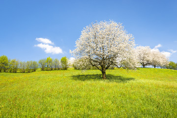 Spring. Fruit tree in white bloom. Cherry flowers. Alps meadow with wild flowers and lush spring grass.  Great atmosphere of awakening and blossoming of nature in the springtime.
