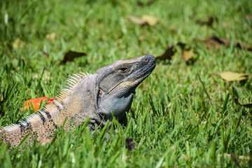 Iguana in the grass basking in sunshine