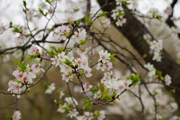 Cherry blossom and green leaves on a cloudy spring day