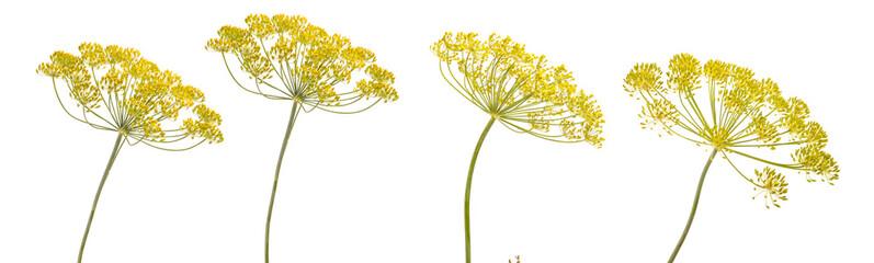 Fototapeta blossoming branch of fennel on a white background obraz