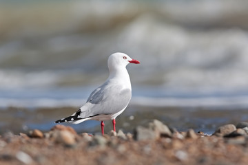 red-billed gull, chroicocephalus scopulinus, New Zealand