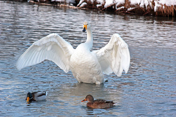 White Swan on a winter lake spreading its wings