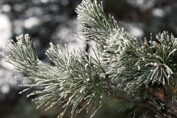 Branch of Pine Tree covered by Frost