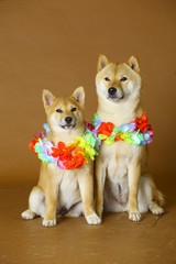 Couple of dogs with hawaian necklace