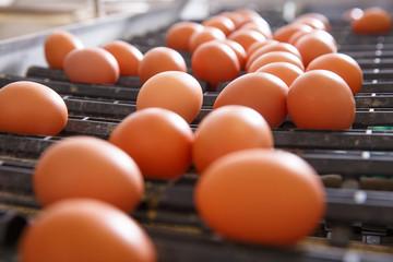 Fresh and raw chicken eggs on a conveyor belt