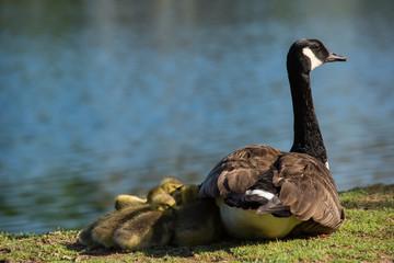 Parenting.  Togetherness.  Mother Goose with her flock huddled up close against her.