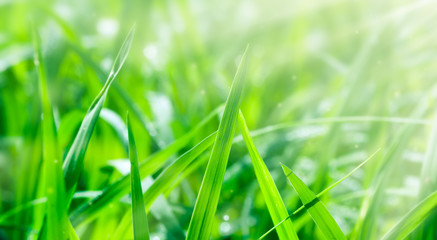Green Paddy Background