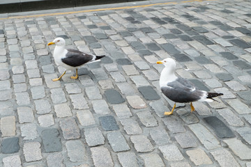 Seagulls on city road