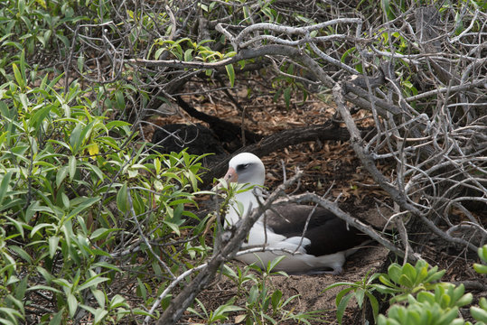 Nesting Laysan albatross at Kaena Point, Oahu
