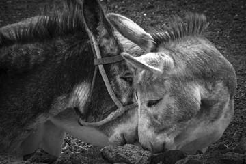 Pair of donkey.