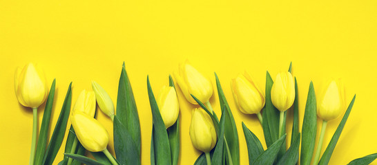 Fresh beautiful yellow tulips on yellow colorful background. Spr