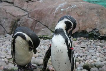 humbolt penguin swimming (Spheniscus humboldti)