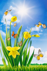 Daffodils and butterflies in field