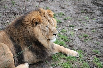 LION - Asiatic lion close up rare and endagered stock, photo, photograph, image, picture,