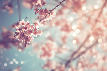Close-up of beautiful vintage sakura tree flower (cherry blossom) in spring. vintage color tone style. Wall mural